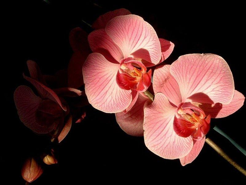 fleurs2005_04_orchidee_minoza.jpg
