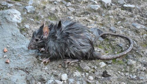 Бедная крыска