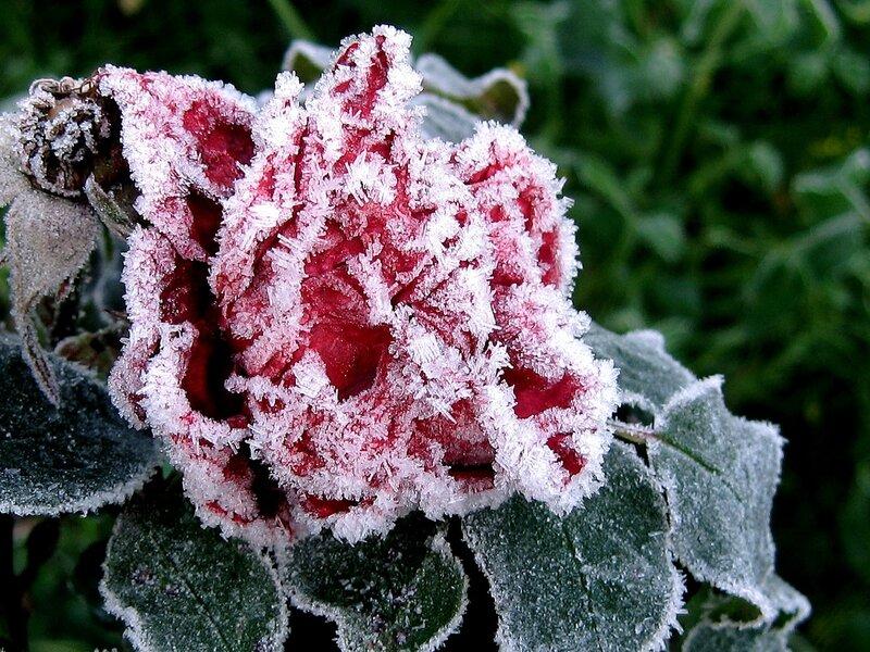 Роза от Деда Мороза