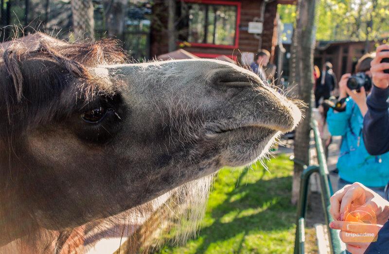 Печальный верблюд