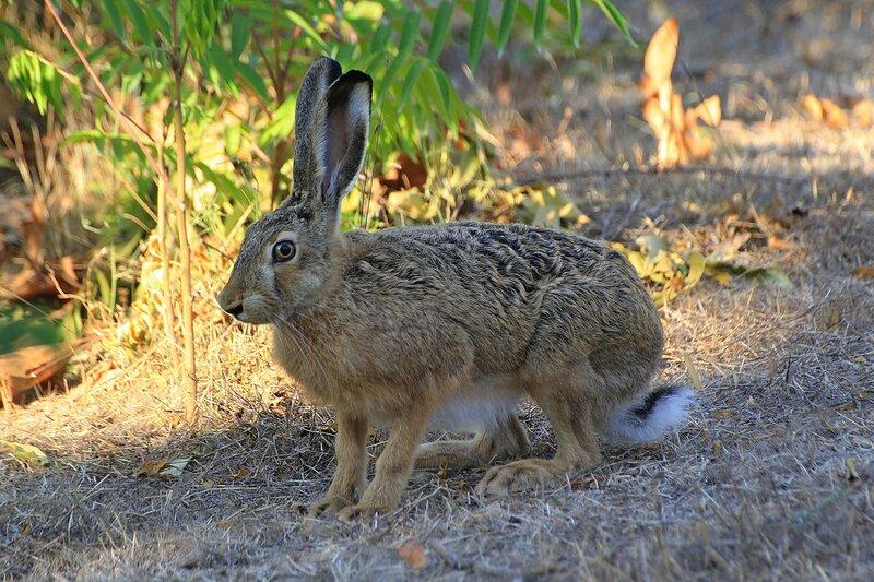 Заяц-русак (Lepus europaeus) серо-бурого цвета, с длинными ушами и коротким хвостиком в Парке Победы в Севастополе (Крым)