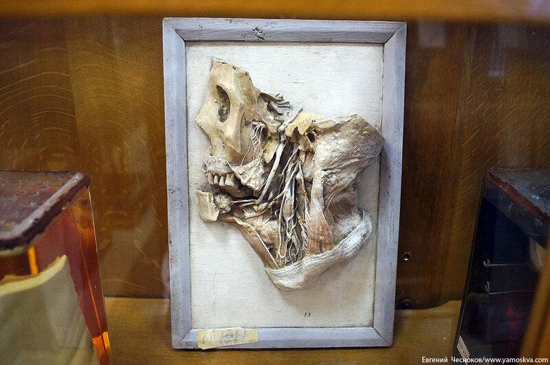 Лето. МГМУ. Музей анатомии. 27.08.15.31..jpg