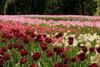 Фестиваль тюльпанов в Питере