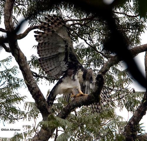 Гарпия - знаменитая птица! 0_1ff8e_84c64dd6_L