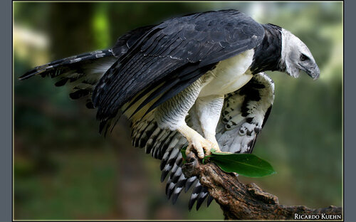 Гарпия - знаменитая птица! 0_1ff99_d573fe68_L