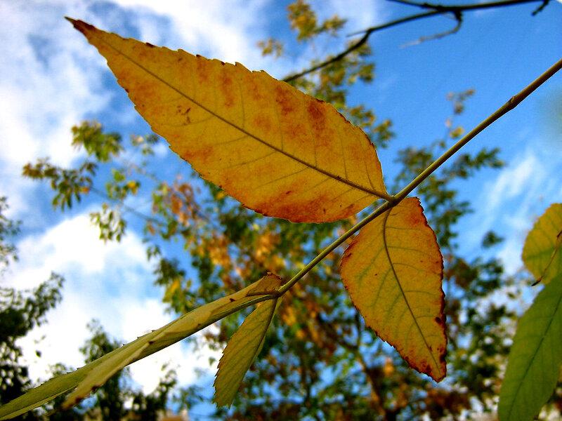 Золотой лист на солнце