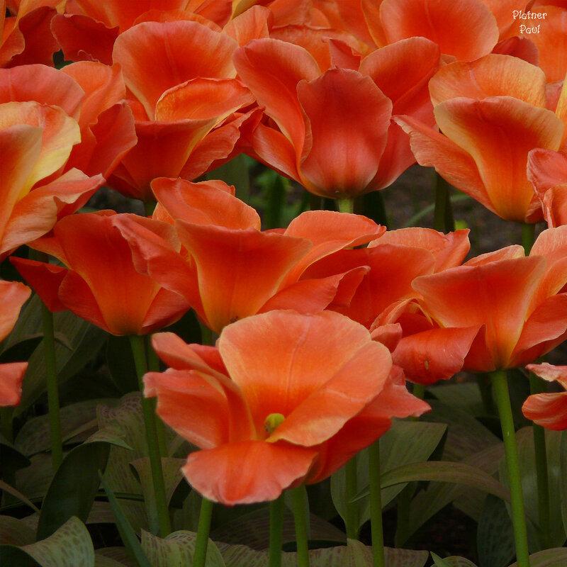 а тюльпаны как маки....
