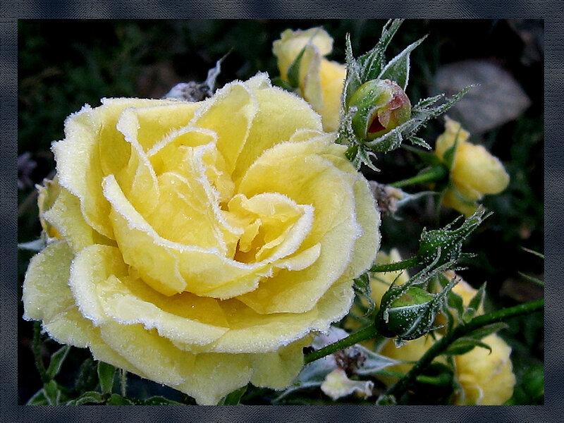 Иней серебристый на розе золотой