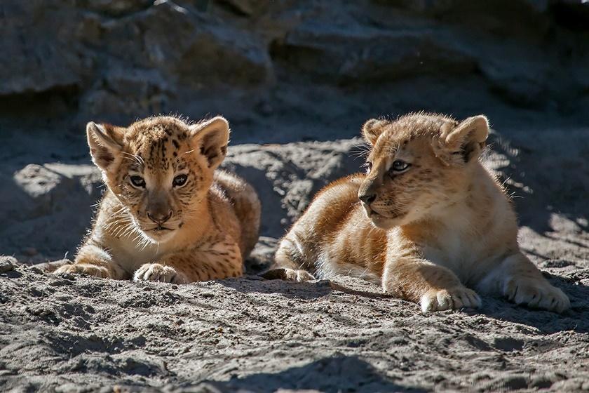 Маленькие лилигрята из Новосибирского зоопарка