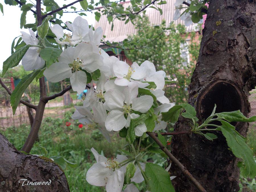 яблоня-цветет-7.jpg