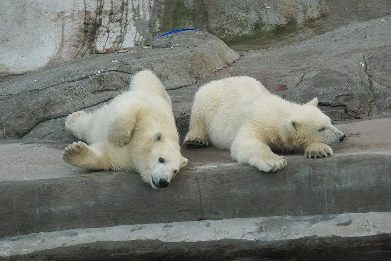 белые медвежата5.jpg