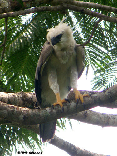 Гарпия - знаменитая птица! 0_1ff94_d192fc7d_L