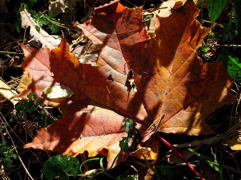 Кленовый лист и луч солнца