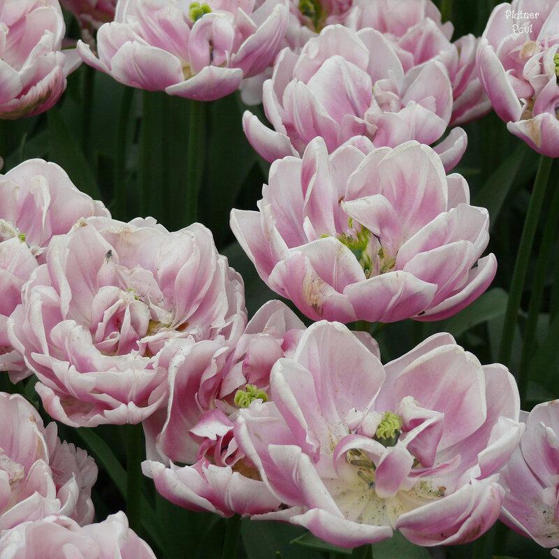тоже тюльпаны, и тоже нежность....