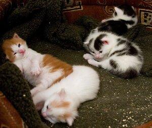 Котята кошки Муши