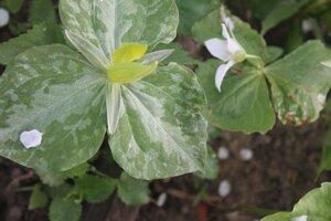 Редкие растения в наших садах - Страница 7 0_16e0c8_d22e1ed2_M