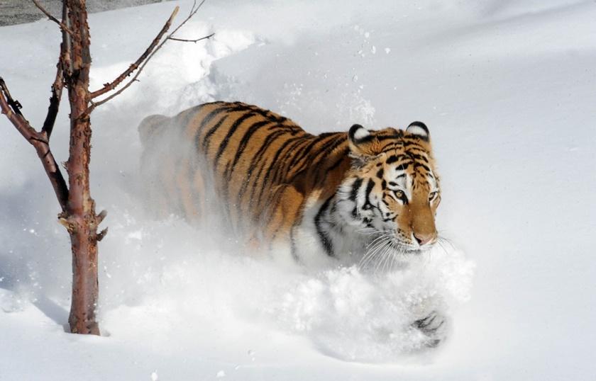Стая амурских тигров расслабляется после сытного обеда 0 141af6 405b8762 orig