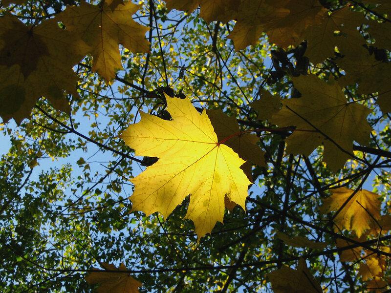 Золотой кленовый лист
