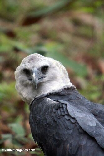 Гарпия - знаменитая птица! 0_1ff97_b31bdd43_L