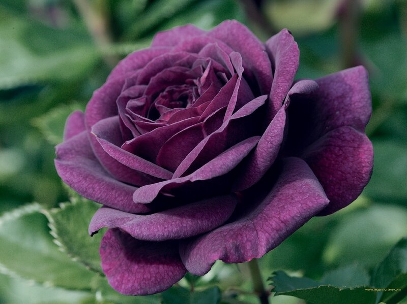 purple%20rose.jpg