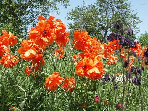 садовые маки
