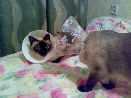 Как сделать воротник коту из бутылки