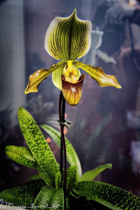 Уход за орхидеями-башмачками в домашних условиях 507