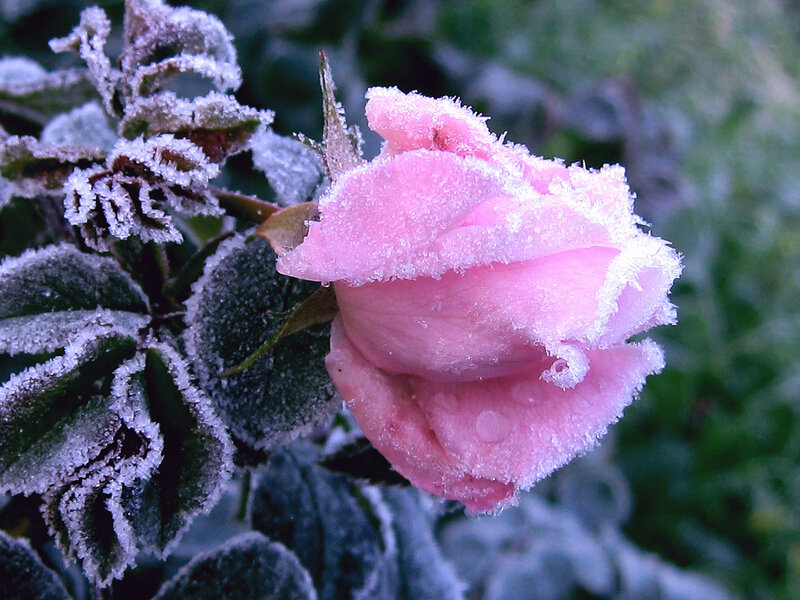 ней фото замерзшей розы инстаграме, где находится