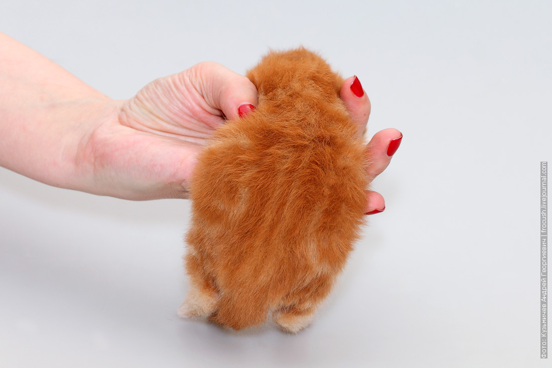 котенок Мейн кун 9 дней