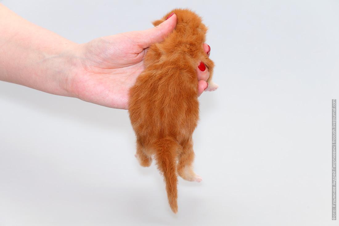 фотография котенок Мейн кун