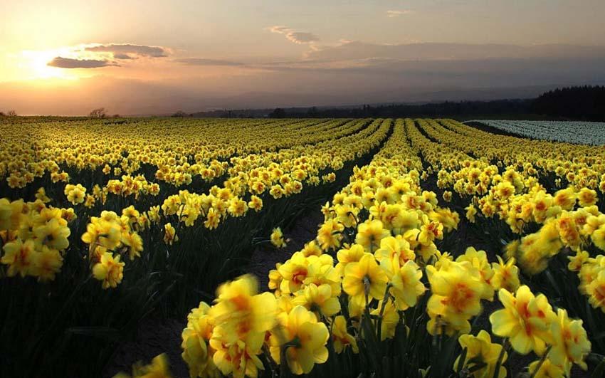Цветы Нарциссы Обои рабочий стол