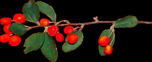 дикие ягоды