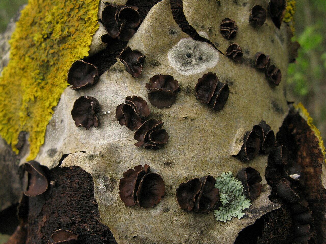 Энцелия пучковая (Encoelia fascicularis) Автор фото: Станислав Кривошеев