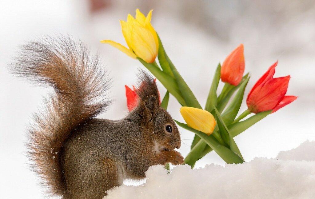 Squirrels_Tulips_Snow_466100.jpg