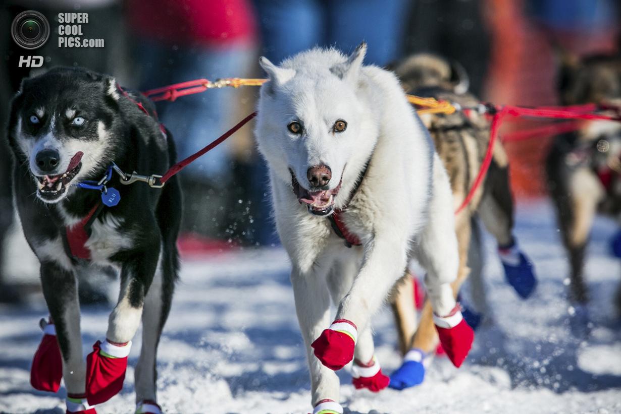 США. Уиллоу, Аляска. 2 марта. Собаки в мокасинах — так их лапы не замерзают. (REUTERS/Nathaniel Wild