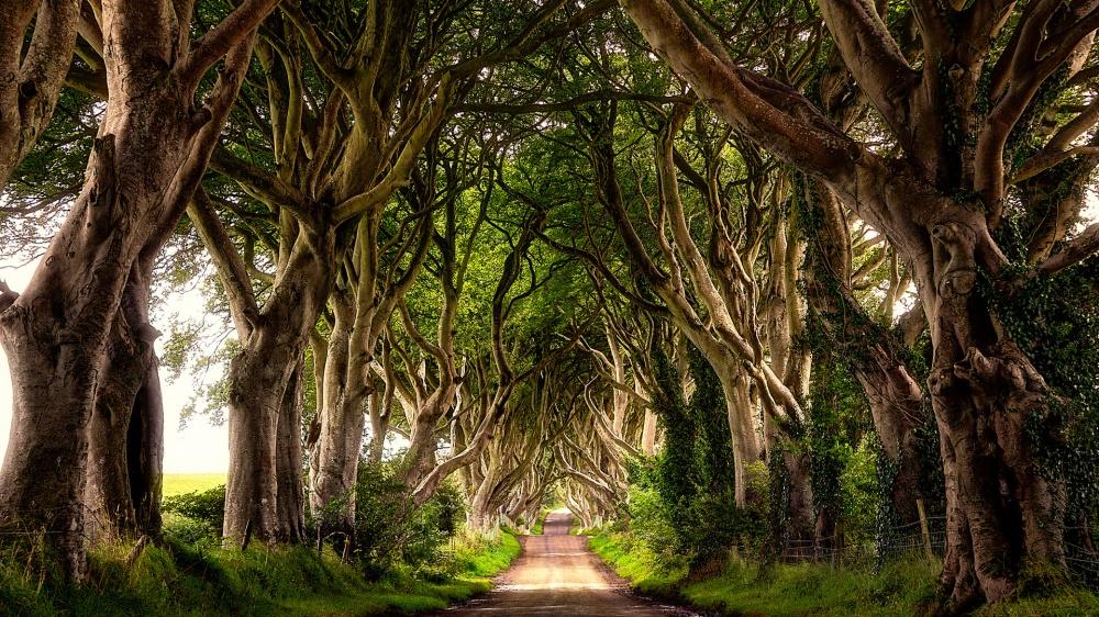 Темная аллея (Dark Hedges)— необычное место. Расположена она близ деревни Армой вСеверной Ирландии