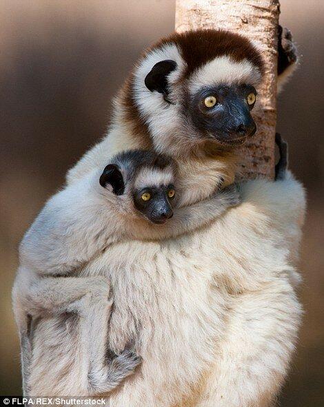 Самка лемура со своим детёнышем на Мадагаскаре.