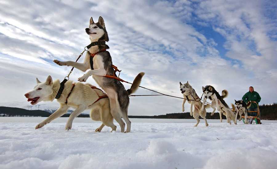 Pete Jones and his team prepare for the 27th annual Aviemore Husky Sled Dog Rally on January 21, 201