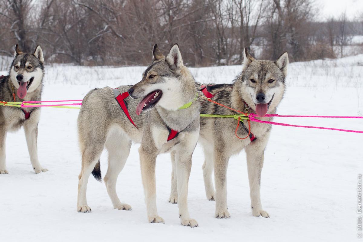 Питомник сибирских хаски DogWinter 22
