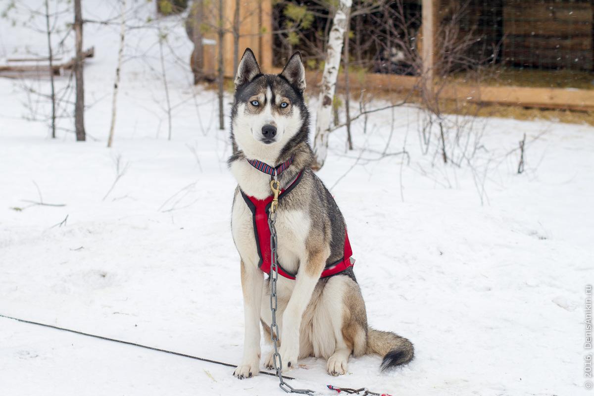 Питомник сибирских хаски DogWinter 26