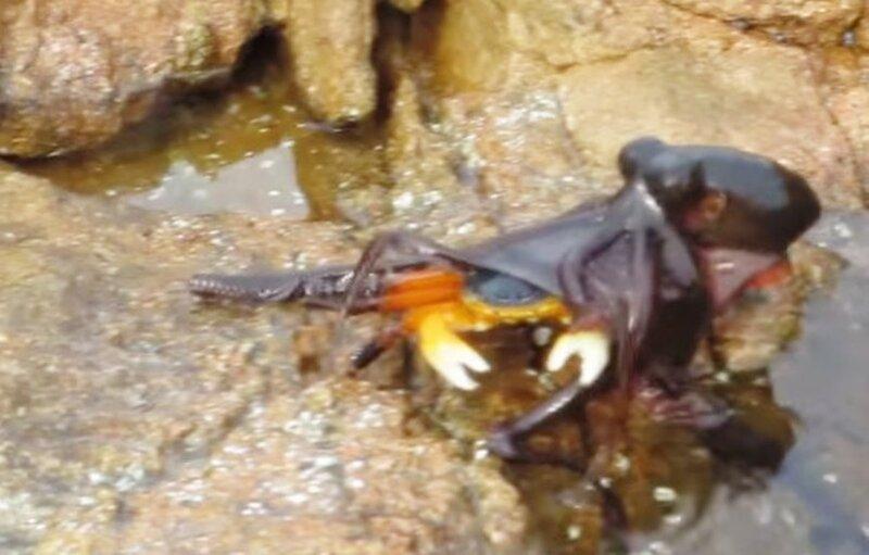 Схватку краба с осьминогом на суше сняли на видео
