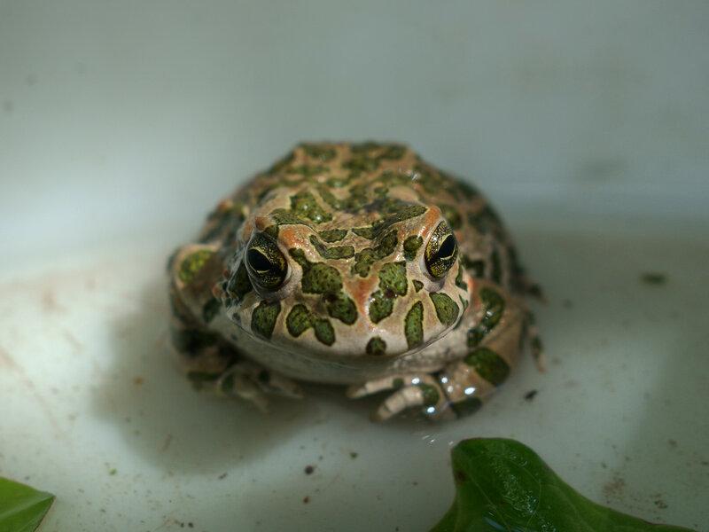 Жаба неземной красоты
