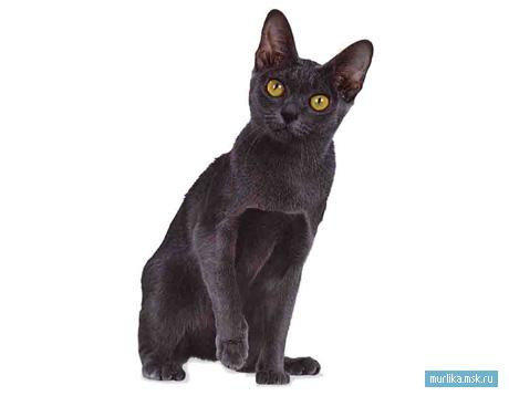 Корат, корат порода кошки