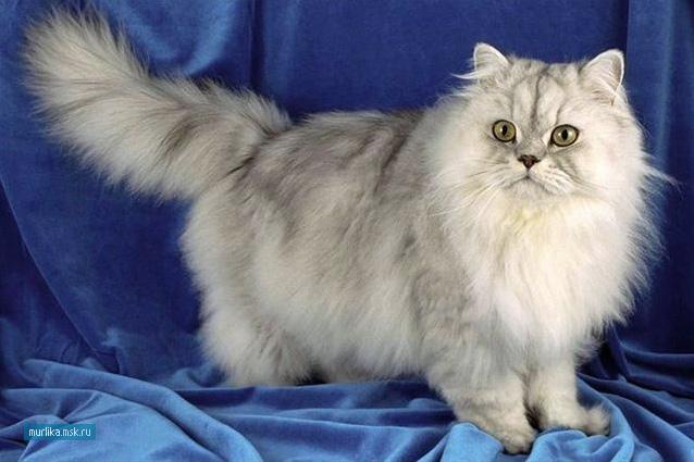Персидская кошка, персидская порода кошки