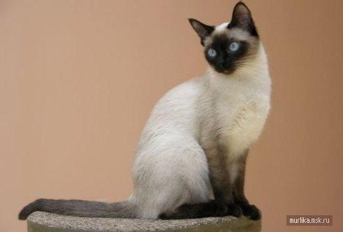 Тайская кошка, тайская порода кошки