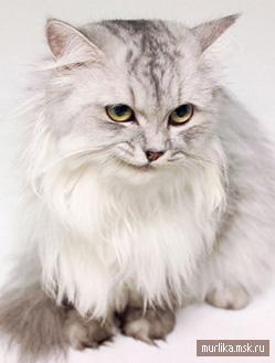 Шиншилла, шиншилла порода кошки