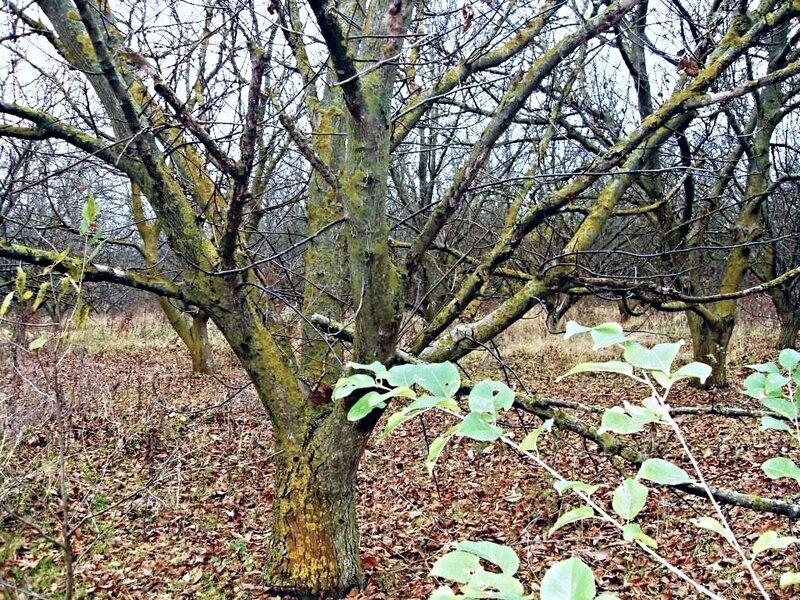 Осень, сад заброшенный, ореховый ... SDC16749