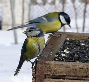 Лазоревка и большая синица