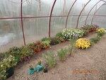 Зимовка вегетативной петунии и калибрахоа в теплице