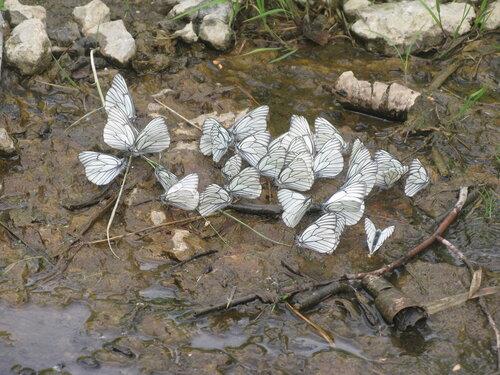 бабочатник